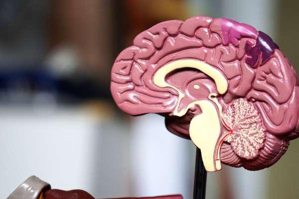 Plastic model of half of the human brain